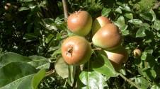 7. Oktober 2020</p>Eine «arttypische» und ergiebige Ernte bei den Büschelibirnen AOP